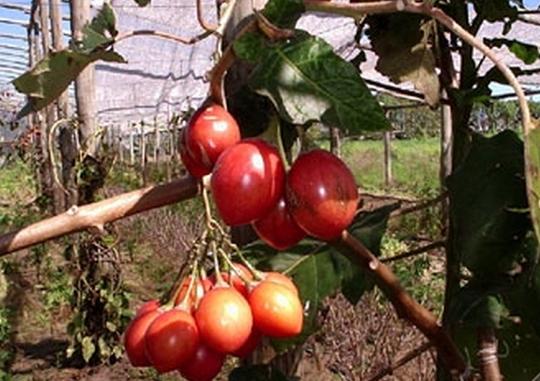 果蔬百科树番茄的功效与作用