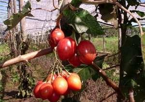 树番茄的功效与作用 吃树番茄的好处
